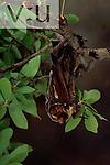 A Hoary Bat. (Lasiurus cinereus) Burro Mountains, Southwest New Mexico, USA