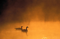 Canada Geese pair at dawn.  British Columbia. Canada. (Branta canadensis).