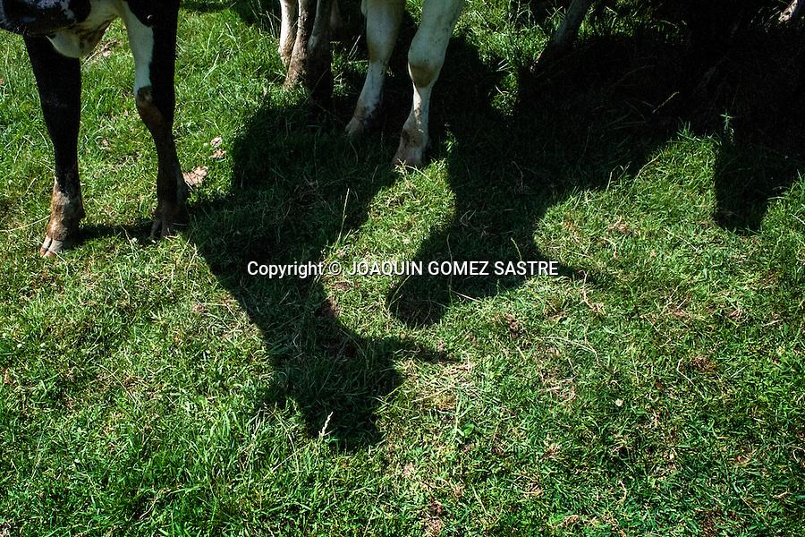 Sombra de unas vacas pastando en la finca de Sara  ganadera de la zona de Valdaliga (cantabria)