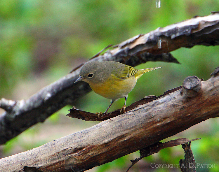 Adult female Nashville warbler at water drip in fall migration