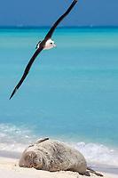 Laysan Albatross, Phoebastria immutabilis, flies over a sleeping Hawaiian monk seal, Neomonachus schauinslandi, Critically Endangered endemic species, Sand Island, Midway, Atoll, Midway Atoll National Wildlife Refuge, Papahanaumokuakea Marine National Monument, Northwest Hawaiian Islands ( Central North Pacific Ocean )