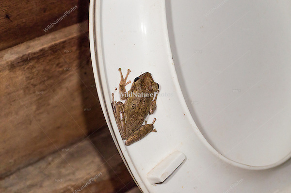 Common Tree Frogs (Polypedates leucomystax) are often found in the guest living quarters in the Tmatboey Community Protected Area, especially near toilets.  (Tmatboey, Cambodia)
