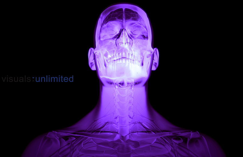 An anterior view of the brain and cervical spinal nerves relative to the skull and cervical vertebrae, respectively. The surface anatomy of the body is semi-transparent and tinted purple. Royalty Free