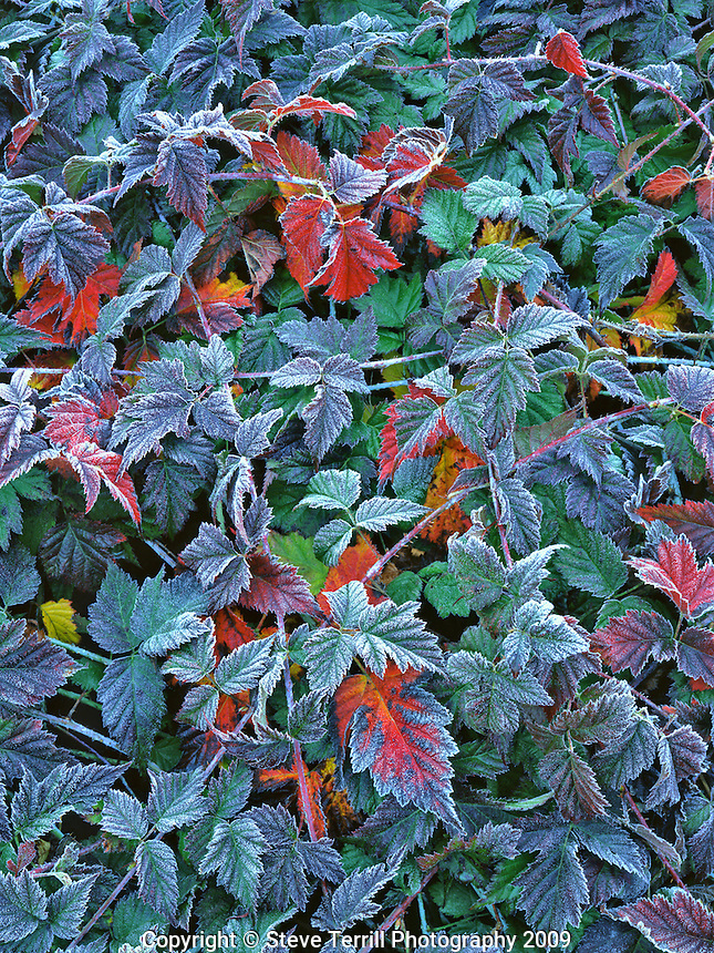 Blackberry bush in morning frost in MUltnomah County Oregon