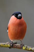 Gimpel, Dompfaff, Männchen, Pyrrhula pyrrhula, Eurasian bullfinch