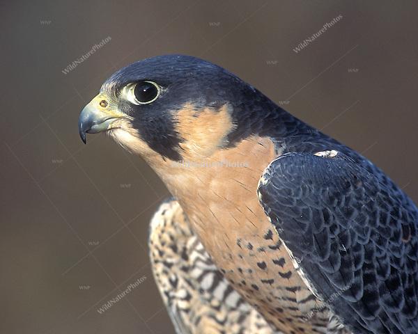 Peregrine Falcon, Tundra race, male (Falco peregrinus tundrius), portrait (Bathurst Inlet, Canada)
