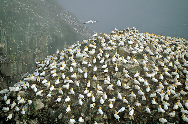 Colony of nesting gannets on cliffs at Cape St. Mary's Ecological Reserve, Newfoundland, Canada, AGPix_0516..