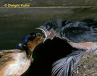 BA09-003z  Barn Swallow - parent feeding 18 day old young - Hirundo rustica