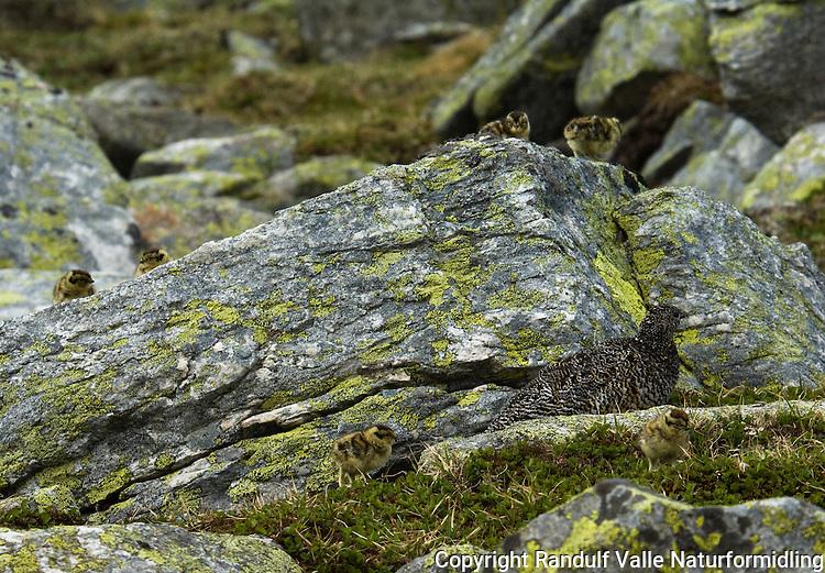 Fjellrype med kyllinger ---- Rock ptarmigan with chicks