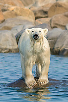 Polar bear, Ursus maritimus, trying to stay cool in the summer sun near Churchill, Hudson Bay, Manitoba, Canada, Canadian Arctic, polar bear, Ursus maritimus