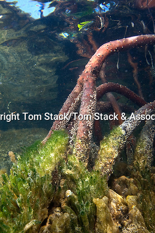 Prop Roots of Red Mangrove,Rhizophora mangle, underwater serving as a host for algae, sponges and other marine life.  Florida Bay, Islamorada, Florida Keys, Florida