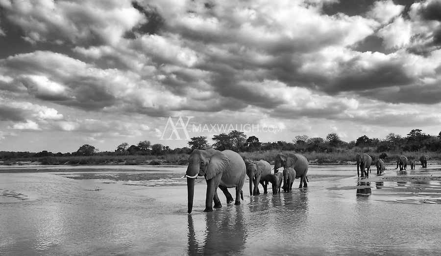 Elephants often travel in family herds led by a matriarch.<br />