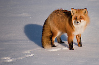 A red fox scans the horizon while exploring the tundra on Alaska's north slope.