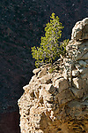 Lone single tree growing out of rock on the South Rim, Grand Canyon National Park, Arizona