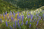 Blue and white lupine flowers, Hell Hollow, California.