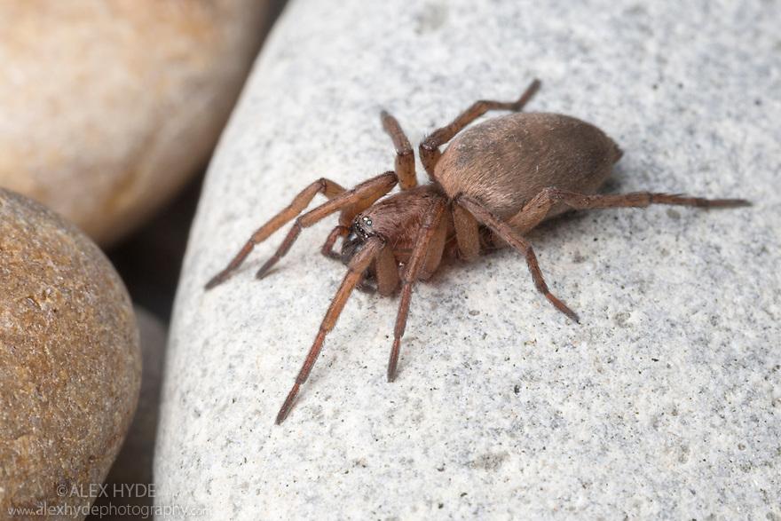 Sac Spider {Clubiona sp.} on shingle beach. Devon, UK. June.