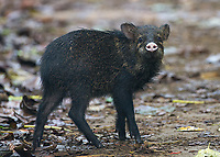 The slightly less dangerous of Costa Rica's two peccary species.
