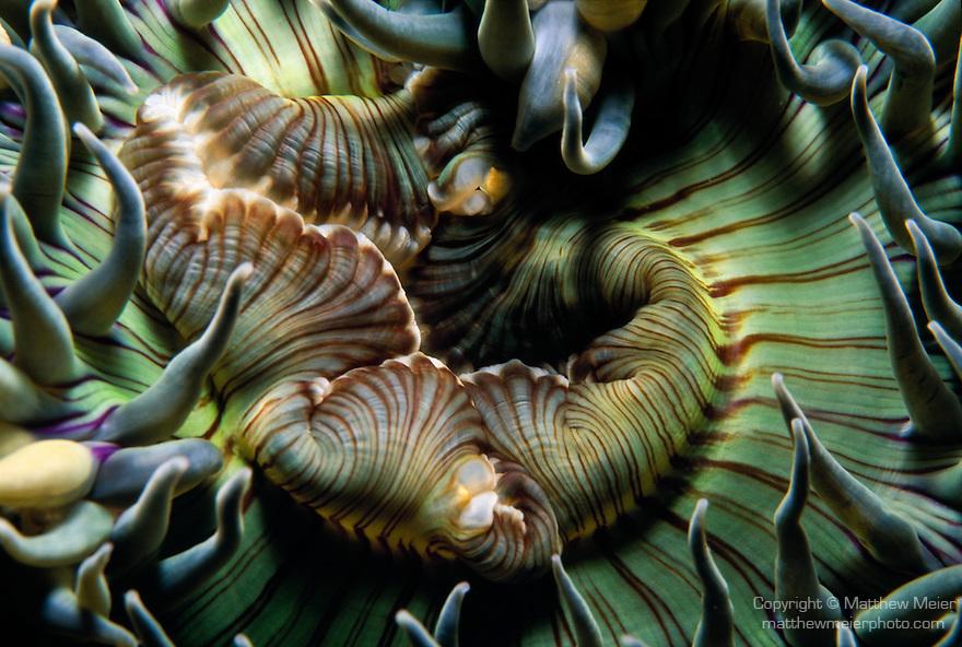 Santa Cruz Island, Channel Islands National Park and National Marine Sanctuary, California; detail view of a Green Anemone (Anthopleura sola)