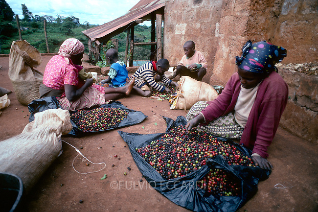 Kenya, Nyeri, district, Kirimara, farm, coffee, coffea, organic, beans, dry, sorting, process, basket, floor, worker, woman, women, group, manual, by hand, chidren, boy