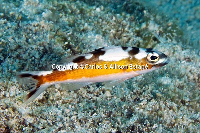 Serranus tabacarius, Tobaccofish, Florida Keys