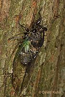 0901-0822  Dog-day Cicada, Tibicen spp.  © David Kuhn/Dwight Kuhn Photography.