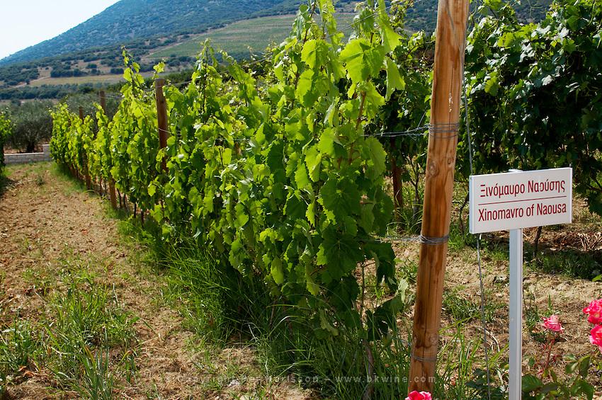 Vines. Xinomavro of Naousa Naoussa vine variety. Biblia Chora Winery, Kokkinohori, Kavala, Macedonia, Greece