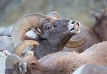 "Bighorn Sheep ram ""smelling"" to check herd for any receptive ewes"