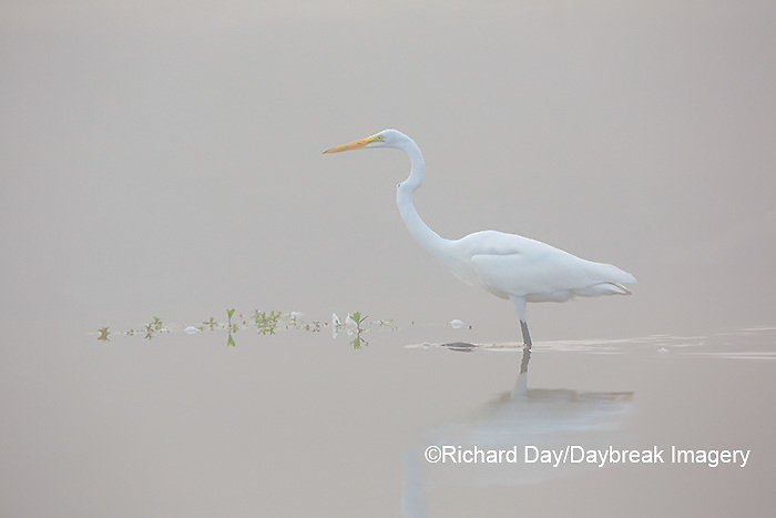 00688-02314 Great Egret (Ardea alba) in wetland in fog, Marion Co., IL