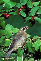 WX01-009z  Cedar Waxwing - immature eating berries - Bombycilla cedrorum