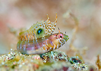 Gulf Signal Blenny, Emblemania hypacanthus, adult female, Mexico, Sea of Cortez, Gulf of California, Pacific Ocean