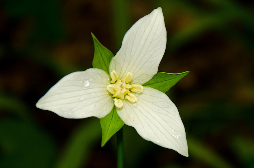 I made a special trip to find and photograph these fabulous flowers. White Trillium has a simple elegance about it.