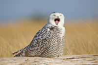 Snowy Owl (Bubo scandiacus) yawning or bill-stretching. Grays Harbor County, Washington. December.