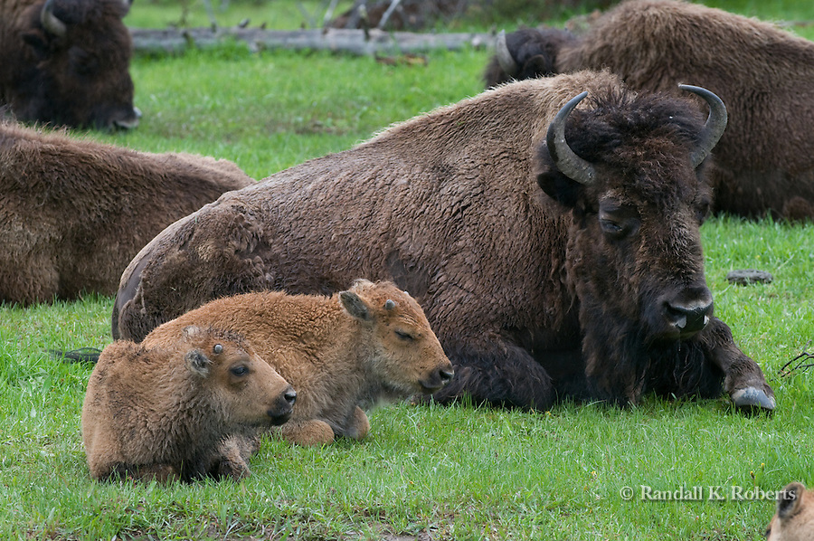 A bison cow keeps close watch on her young calves, Yellowstone National Park, Wyoming.