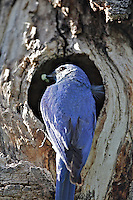 Mountain Bluebird at cavity nest.