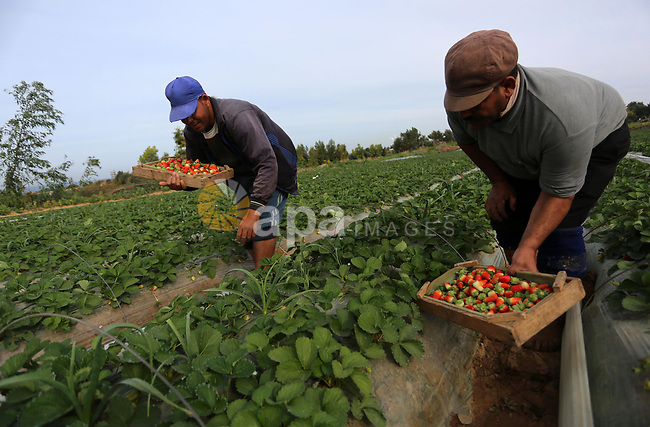 Palestinian farmers harvest strawberries at a farm in Beit Lahia, in the northern Gaza Strip, on December 11, 2019. Photo by Ashraf Amra