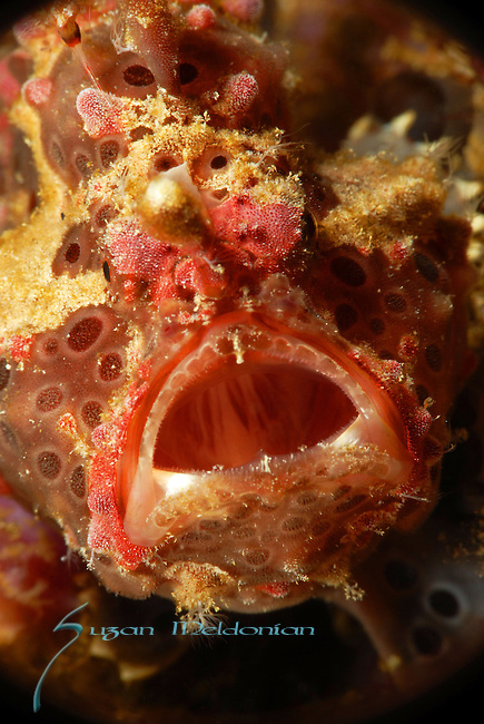 Warty Frogfish, Aniloa Philippines