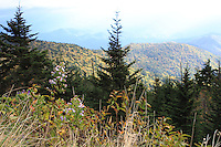 Stock photo: wild plants looking over the pine trees and smoky mountain hills during fall.