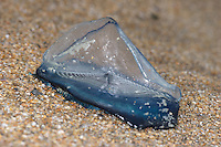 By The Wind Sailor - Velella velella