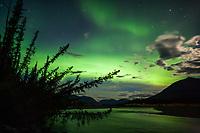 Spruce trees silhouetted against the aurora borealis, brooks range mountains, arctic, Alaska.