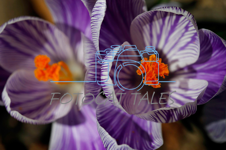 Crocus bloom in Gardnerville, Nev., on Tuesday, Feb. 25, 2020. <br /> Photo by Cathleen Allison