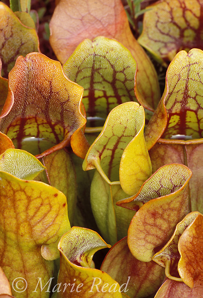 Pitcher Plant (Sarracenia purpurea), pitchers changing color in autumn, New York, USA<br /> Slide # P14-70