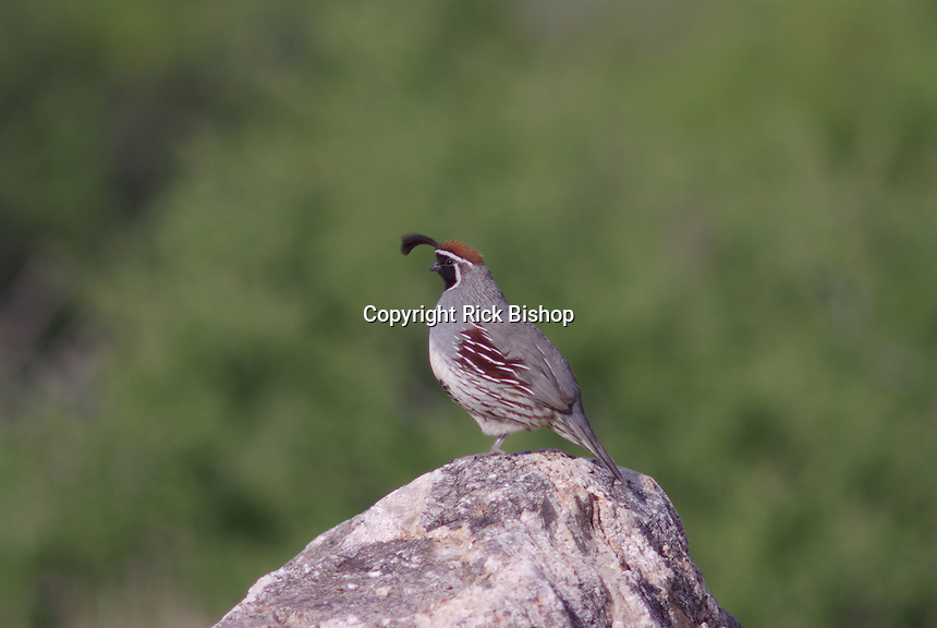 Gambel's Quail (Callipepla gambelii) male stands gard on a spring day in southern Arizona.