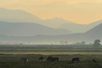 Horses in dawn. Velipoja, Albania June 2009