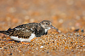 Ruddy Turnstone (Arenaria interpres) searching for little morsels Rye, East Sussex, UK. The Turnstone aptly named, it will flip stones of almost its own body weight has been recorded feeding on a very wide range of prey, including bird's eggs, chips and even corpses, in this case a crab shell.