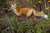 Red Fox (Vulpes vulpes) in fall color near the Yukon/British Columbia border.  Sept.