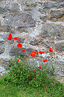 UK, England, Yorkshire.  Red Poppies, Bolton Castle.