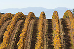 Netted wine grape vineyard in the rolling foothills of the Galitan Range by the Salinas Valley.