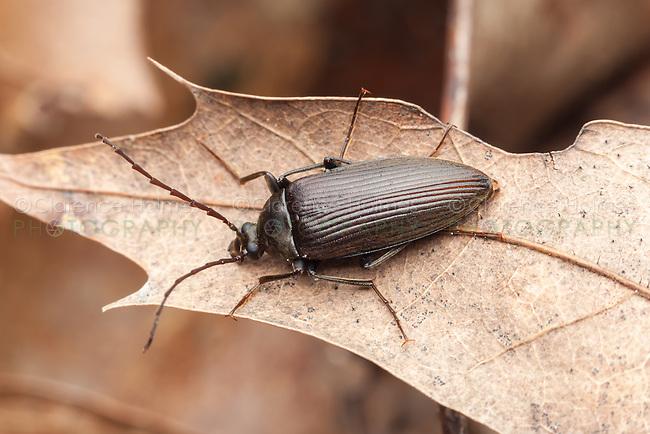 A Darkling Beetle (Capnochroa fuliginosa) perches on a dead leaf.