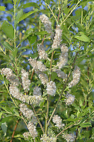 Bay Willow - Salix pentandra