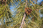 Pitch Pine (Pinus rigida) tree in a New Hampshire forest, which is part of New England  USA
